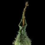 Cannibis Indica Plant
